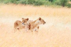 Two lionesses in Masai Mara Stock Image