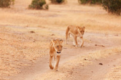 Two lionesses in Masai Mara Royalty Free Stock Photography