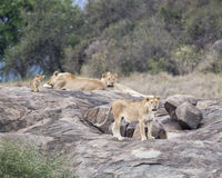 Two lionesses and one lion and one cub on a large grey rock Royalty Free Stock Photo