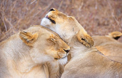 Two lionesses (panthera leo) Royalty Free Stock Photos