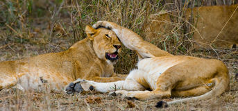 Two lionesses play with each other. National Park. Kenya. Tanzania. Masai Mara. Serengeti. Stock Photo