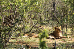 Two lionesses resting in the sun Royalty Free Stock Photography