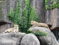 Two Lionesses On The Rocks Stock Photos