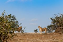 Two lionesses in the savannah Stock Image