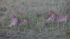 Two lionesses sitting in the grass. Evening. The Mara or Maasai Mara region is known for its endless plains, open grasslands and abundant wildlife. Lion close stock video footage
