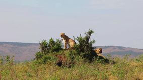 Two lionesses sitting on the hill. They inspect the area. stock video footage