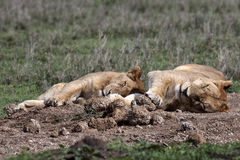 Two lionesses sleeping in the grass Royalty Free Stock Photos
