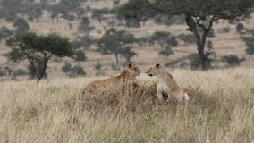 Two lionesses standing in the savannah looking for a prey Stock Photo