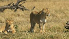 Two lionesses survey their territory in masai mara, kenya. Two lionesses survey their territory in masai mara game reserve, kenya stock photo