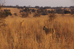 Two lionesses are walking in the african savannah Royalty Free Stock Photo