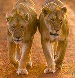 Two lionesses walking on the road in the national park. Kenya. Tanzania. Maasai Mara. Serengeti. Stock Images