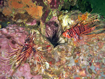 Two Lionfish Stock Photography