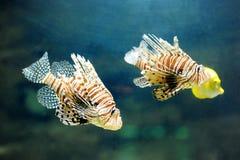 Two lionfish pterois volitans - dangerous poisonous fish Royalty Free Stock Photos