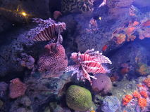 Two lionfishes (Pterois volitans) in the aquarium in Bangkok Stock Photo