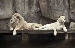 Two Lions. At the zoo Stock Photos