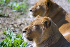 Two lions Stock Images