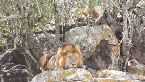 Two lions bask in the sun stock video footage