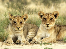 Two lions brothers. Taken during a safari trip in South Africa royalty free stock photos