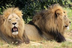Two lions. Close up of two wild male african lions Royalty Free Stock Images