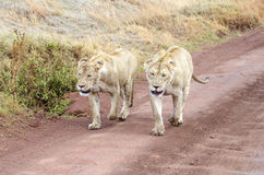 Two lions Stock Image