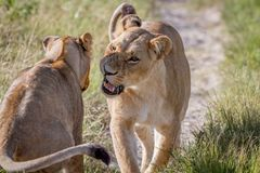 Two Lions having a little argument. Stock Photography