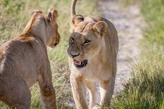 Two Lions having a little argument. Royalty Free Stock Photography