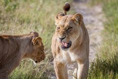 Two Lions having a little argument. Royalty Free Stock Photo