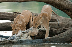 Two Lions on Hippo Kill. Female Lions feeding from Hippo Kill on the banks of the Ruaha River, Tanzania Stock Photo
