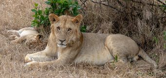 Two lions laying in the grasslands on the Masai Mara, Kenya Africa royalty free stock photo