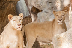 Two lions looking Royalty Free Stock Photo
