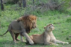 Two lions in love Royalty Free Stock Images