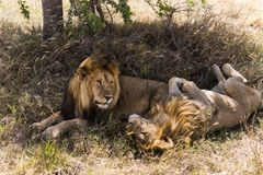 Two lions lying, Serengeti, Tanzania Stock Photos