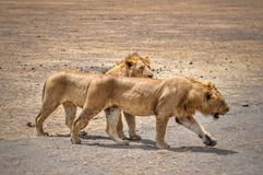 Two lions in the Ngorongoro crater Royalty Free Stock Image