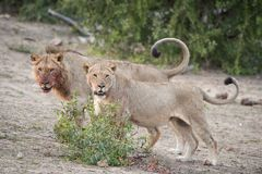 Two lions, one with a bloody face, looking at the camera. A horizontal, colour image of a lion with a bloody face and a lioness, Panthera leo, standing together Stock Image