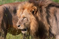 Two Lions (panthera leo) close-up Royalty Free Stock Photo