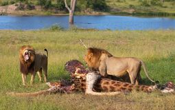 Two Lions (panthera leo) in savannah royalty free stock photo