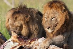 Two Lions (panthera leo) in savannah Stock Image