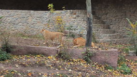 Two Lions Play In Aviary. Two young African lions play in aviary made of stone at autumn Zoo stock video
