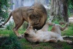 Two Lions Playing Royalty Free Stock Photo
