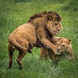 Two adult lions playing together. A male and female lion in an area of open grass land royalty free stock photo