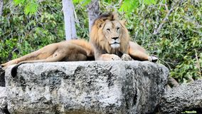 Two lions resting Stock Image