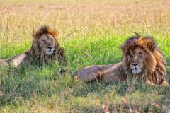 Two lions resting at the masai mara Stock Photos