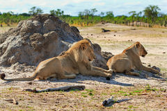 Two lions resting after mating Stock Image