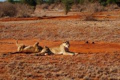 Lions in the savannah of Tsavo East in Kenya Stock Photos