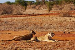 Two lions in the savannah of Tsavo East Stock Images