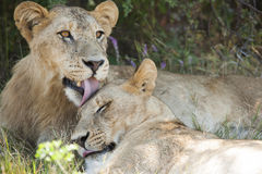 Lion licking  Stock Photo