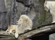 Two lions in the royalty free stock photo