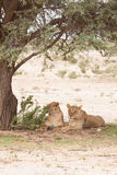 Two lions under a tree. Portrait of two lazy lionesses lying under a tree in Kgalagadi Transfrontier Park South Africa Royalty Free Stock Photo