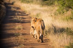 Two lions walking away on the dirt road stock photos