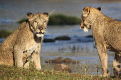 Two lions by water hole. Two wild lions wet after swimming together in a water hole in Zambia, South Africa Royalty Free Stock Photography